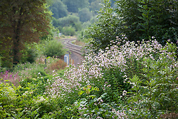 Soapwort growing wild by a railway line in the Stroud Valley. Saponaria officinalis. Night scented and attractive to moths