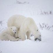 Polar Bear(Ursus mari timus) Mother and cub. Mother tries to pick up dead cub.Cape Churchill. Manitoba. Canada.