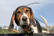 One of White Dog's Walker coonhounds wearing GPS tracking collar during a 2019 Idaho spring black bear hunt