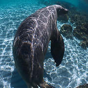 Large adult male Australian sea lion swimming through shallow waters with a white sand bottom at Carnac Island in Western Australia