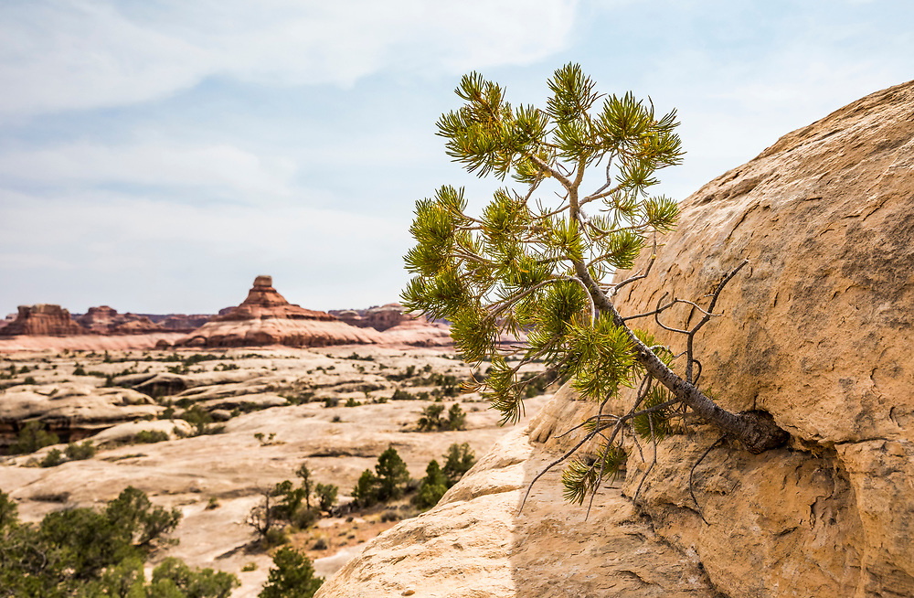 Nature, stuggle, finding a way. A tree grows from the side of a sandstone rock cliff. The Needles, Canyonlands National Park, Utah, USA.