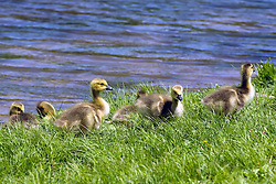 12 May 2009: Canadian Goose with goslings. (Photo by Alan Look)