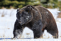 Big male grizzly bear with oil on his face from eating grain on the railway tracks, Banff National Park, Alberta, Canada