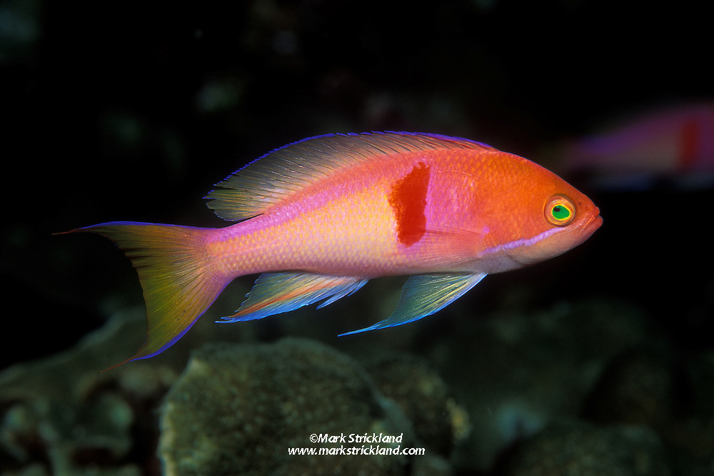 A male Red-Bar Anthias, Pseudanthias rubrizonatus, displays the brilliant colors typical of its sex.  Females are drab by comparison. These fish normally inhabit deep, inshore reefs. Hin Muang, Thailand, Andaman Sea