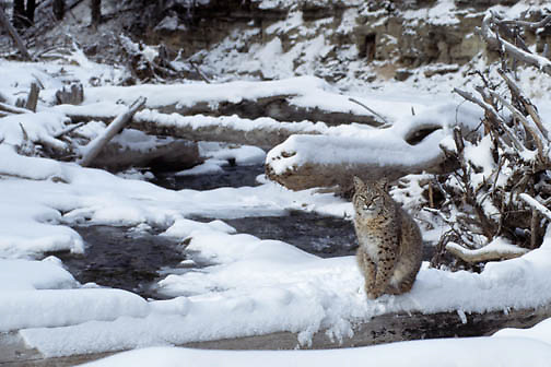 Bobcat (Lynx rufus) adult on a fallen log above a stream during the wintertime.  Captive Animal.