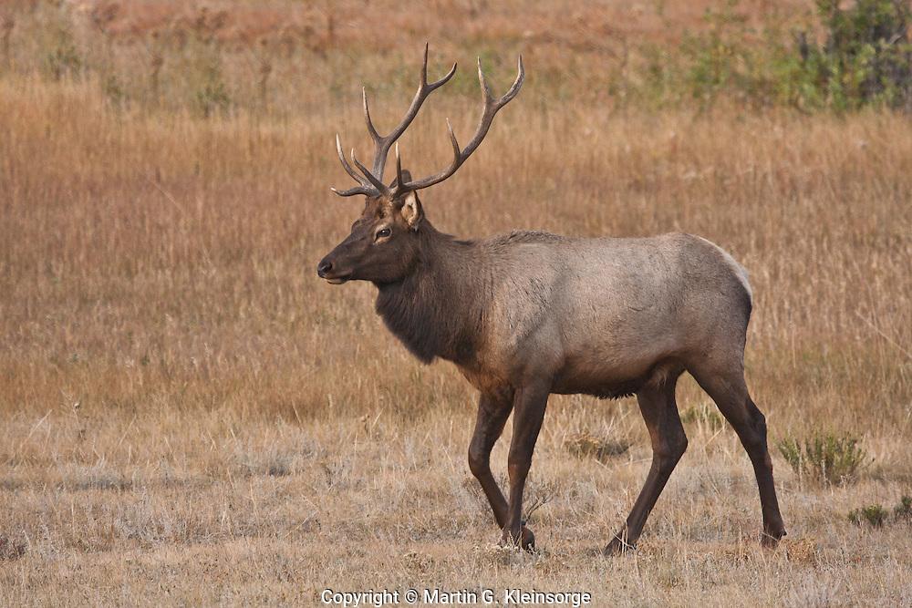 Rocky Mountain Bull Elk (Cervus elaphus) during the rutting season.  Rocky Mountain National Park.  Colorado