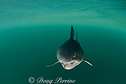salmon shark, Lamna ditropis (c), with salmon in mouth, Prince William Sound, Alaska, U.S.A. (dm)