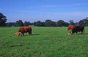 A088NF Longhorn Highland cattle grazing in Suffolk lowland field Helmingham Hall Suffolk England