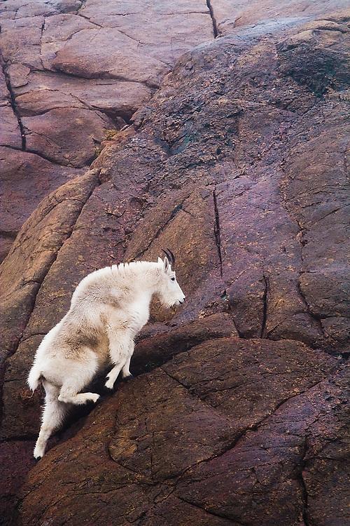 A female mountain goat (Oreamnos americanus) walks up a steep rock face above Ingalls Lake, Alpine Lakes Wilderness, Washington.