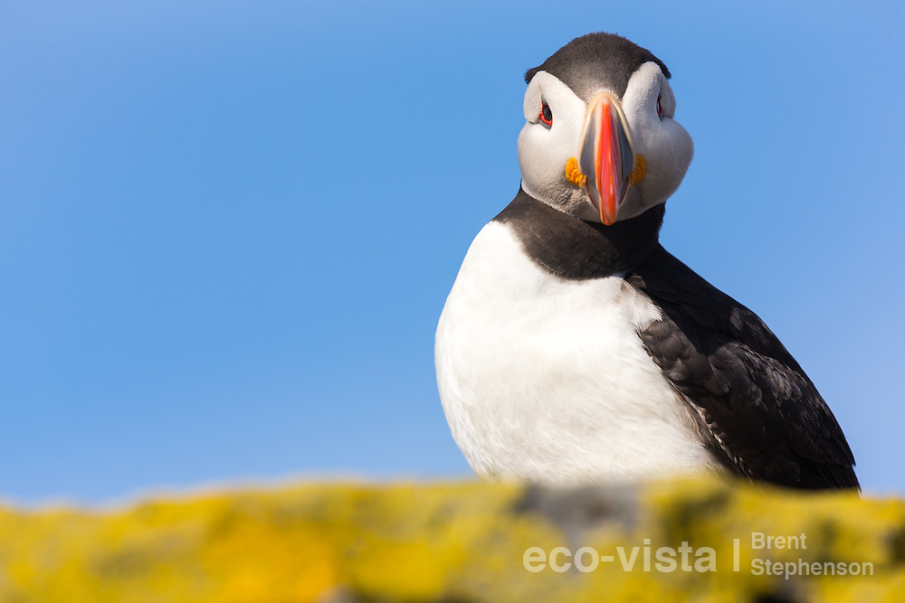An Atlantic puffin (Fratercula arctica) stares down quizzically from a rock overlooking the sea, with colourful yellow lichens in the foreground. Vigur Island, Isafjardardjup, Iceland. July.