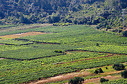 View over Smokvica vineyards on Korcula from the Toreta Winery. Toreta Vinarija Winery in Smokvica village on Korcula island. Vinarija Toreta Winery, Smokvica town. Peljesac peninsula. Dalmatian Coast, Croatia, Europe.