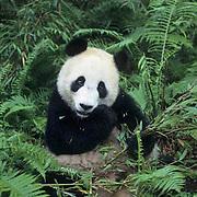Giant Panda, (Ailuropoda melanoleuca)  Eating bamboo. Wolong Natural Reserve. Sichuan,China.  Captive Animal.