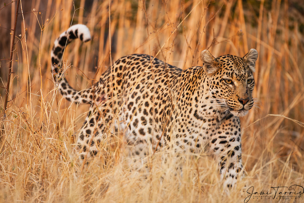 A leopard (Panthera pardus) walking through its territory while hunting in the morning,Moremi Game Reserve,Botswana,Africa