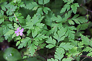 Herb Robert (Geranium robertianum) flower and leaves in Campbell Valley Park, Langley, British Columbia, Canada