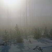 Foggy sun over young lodgepole pines replacing tree burned in 1988.