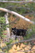 A black wolf feeds on an elk in timber.