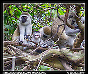 Vervet Monkey Family.Keekorok Lodge, Maasai Mara, Kenya.Sepember 2012