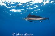 Atlantic sailfish ( Istiophorus albicans or Istiophorus platypterus ), Yucatan Peninsula, Mexico ( Caribbean Sea ) (dm)