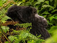 Mountain gorilla, Bwindi Impenetrable National Park, southern Uganda, near the border of Rwanda and Congo.