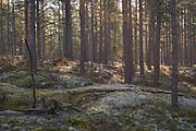 Rising sun shines over lichen rich coastal pine (Pinus sylvestris) forest with remains of trenches from World War I, Kemeri National Park (Ķemeru Nacionālais parks), Latvia Ⓒ Davis Ulands | davisulands.com