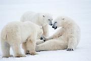 Canada. Manitoba. Cape Churchill. Polar bears (Ursus maritimus) playing.