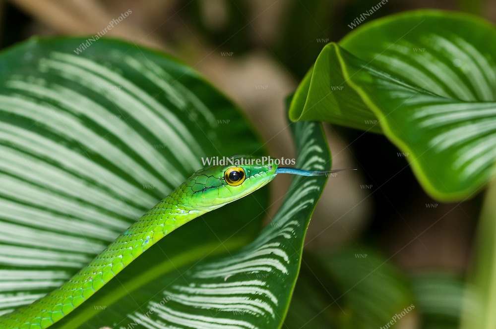 A slithering Giant Parrotsnake (Leptophis ahaetulla) uses its tongue and sense of smell while hunting for frogs and frog eggs in the jungle, Bocas del Toro, Colon Island, Panama