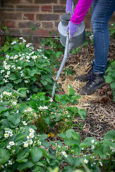 Watering strawberry plants using a watering can