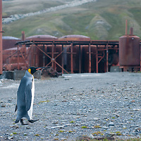 A King Penguin strolls through decaying machinery at Grytviken, a recently abandoned whaling station on  South Georgia island, Antarctica.