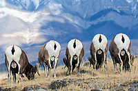 Bighorn butts