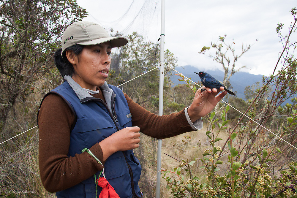 Scientific reserach assistants mist net and study birds, including the masked flowerpiercer (Diglossopis cyanea) shown here. Reserach is taking place at Wayqecha Biological Reserve on the Eastern slopes of the Peruvian Andes. Cloud forest at 2950 meters elevation. The reserve is managed by the Amazon Conservation Association and the Asociación para la Conservación de la Cuenca Amazónica.