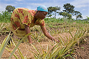 Judith Nakayiza tending to pineapple, she is the Kulika Lutizi centre tutor and originally trained with Kulika in sustainable organic agriculture in 2002.
