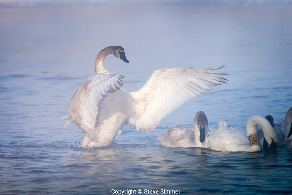 Trumpeter Swans on the St. Croix River. They are beautiful creatures simply sitting still, but when the behaviors come out, they are more insteresting. On this visit, mating behaviors were coming to the forefront.