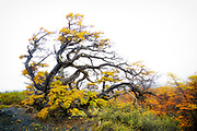 """Windblown tree in color, Torres del Paine National Park <br /> <br /> 18"""" x 12""""<br /> <br /> See Pricing page for more information.<br /> <br /> Please contact me for custom sizes and print options including canvas wraps, metal prints, assorted paper options, etc. <br /> <br /> I enjoy working with buyers to help them with all their home and commercial wall art needs."""