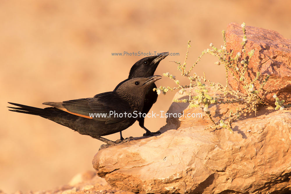 male and Female Tristram's Starling or Tristram's Grackle (Onychognathus tristramii). Photographed in Israel, Dead Sea, in November
