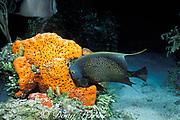 French angelfish, Pomacanthus paru, <br /> feeding on orange elephant ear sponge, Agelas clathrodes<br /> Mt. Olympus Reef, Little Bahama Bank<br /> Bahamas ( Western Atlantic Ocean )