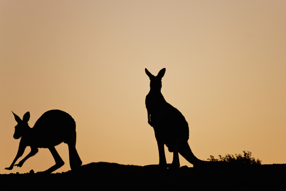 A silhouette of a red kangaroos (Macropous rufus) hopping against a yellow sky at sunset, Sturt Stony Desert, New South Wales,  Australia