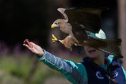 Yellow-billed kite grabs food from a trainer at the Center for Birds of Prey November 15, 2015 in Awendaw, SC.