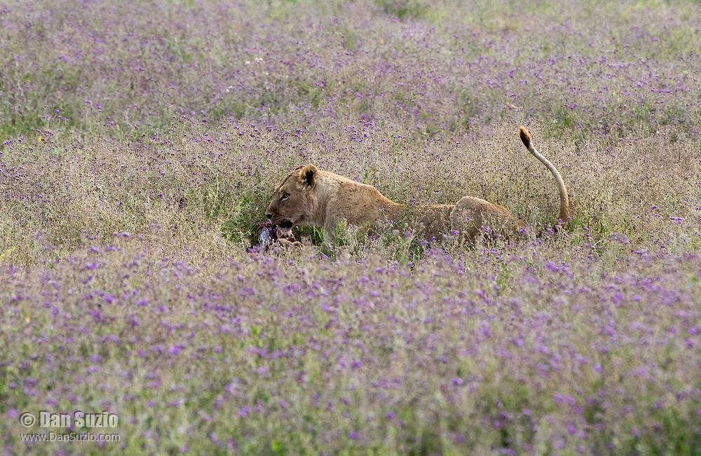 A female Lion, Panthera leo  melanochaita, eats a Thomson's Gazelle, Eudorcus thomsonii, in Ngorongoro Crater, Ngorongoro Conservation Area, Tanzania