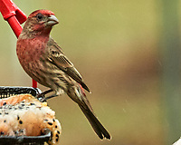 House Finch. Image taken with a Nikon D5 camera and 200-500 mm f/5.6 VR lens