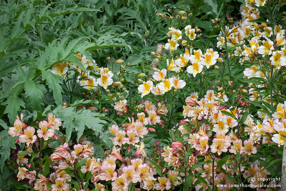 Alstroemeria 'Elvira' and 'Apollo' with the foliage of Cynara scolymus (Globe artichoke),