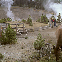 A cow elk grazes near hot springs and tourists on a boardwalk in Yellowstone National Park, Wyoming