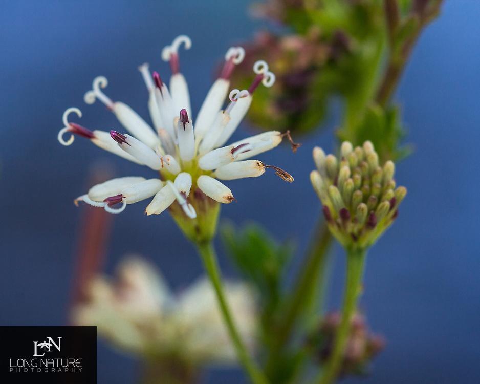 Palafoxia feayi, photographed at Archbold Biological Station, Florida USA.