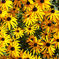 Close up view of the wildflower Black-eyed Susans