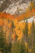 Aspens in fall color climb up the side of a mountain in Bishop Canyon, Inyo National Forest, Sierra, California