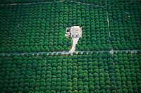 Italie, Sicile, vue aerienne, champs de citronniers // Lemon trees field, Aerial view, Sicily, Italy