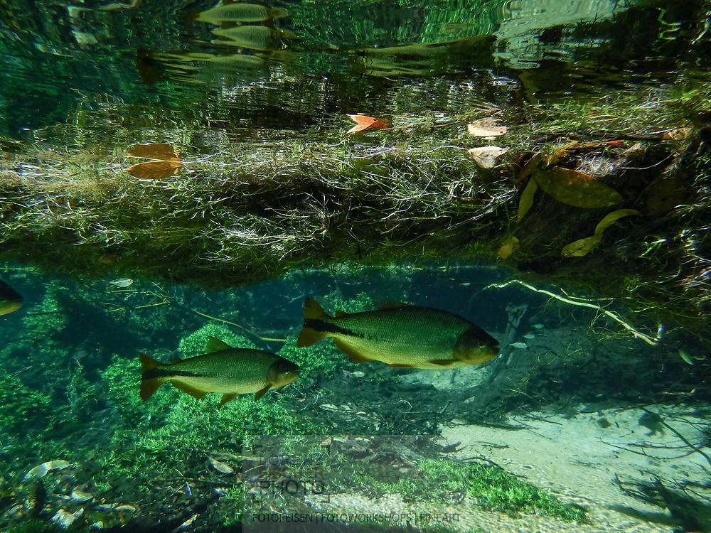 Underwater sences in Bonito, Mato Grosso do Sul, Brazil