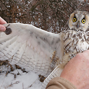 Denver checking the wings of a long-eared owl. Mission Valley, Montana