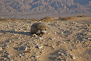 Desert Hedgehog (Paraechinus aethiopicus), photographed in the desert in Israel. The hedgehog is an omnivore and has been known to eat a wide range of invertebrates, but prefers earthworms, slugs and snails. It will also eat frogs, small reptiles, young birds and mice, carrion, bird eggs, acorns and berries. it is mainly a nocturnal animal