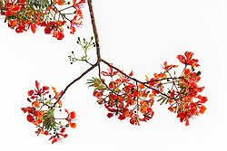Royal Poinciana Tree Delonix Regia #3