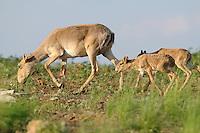 Mission: Saiga.Mother saiga (Saiga tatarica) and calves in the steppe in Cherniye Zemly (Black Earth) Nature Reserve, Kalmykia, Russia, May 2009.Saiga tatarica